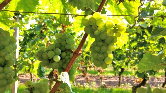 ソーヴィニヨン・ブラン種の白ワインのおすすめ銘柄5種