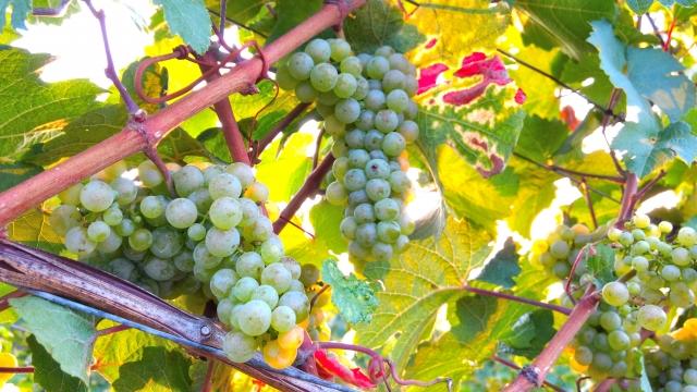 リースリング種の白ワインのおすすめ銘柄4種