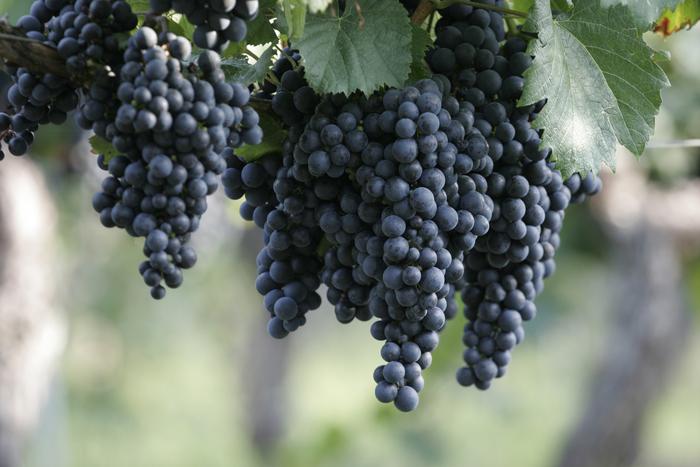 マルベック種の赤ワインのおすすめ銘柄5種