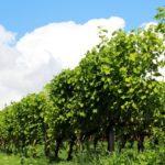 コンコード種の赤ワインのおすすめ銘柄5種